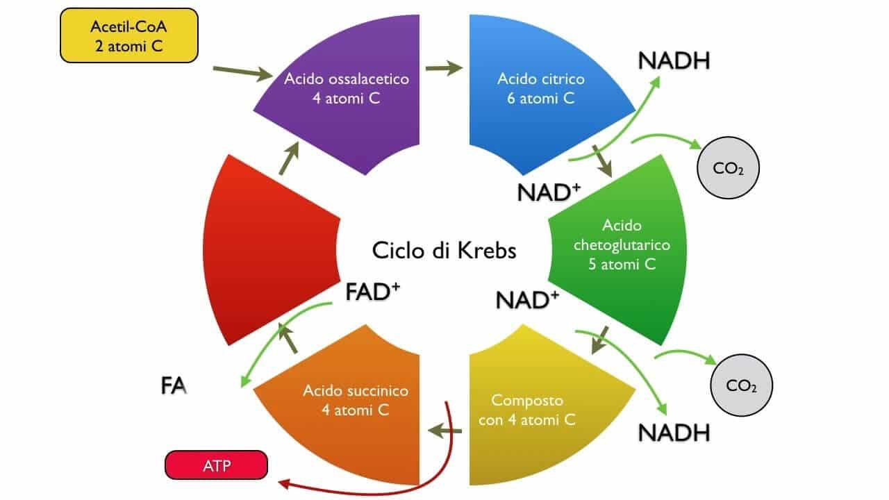 Acido Citrico Dosi Alimentari acido succinico