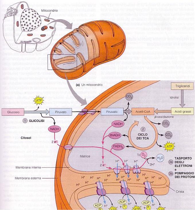 quale enzima analizza il grasso nello stomaco